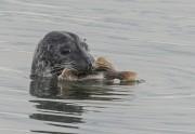 zeehond met prooi