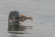 gewone zeehond met  platvis