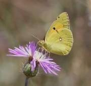een luzerne vlinder