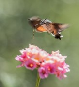 een kolibrie vlinder
