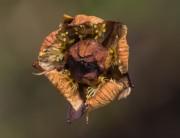 parnassia verdroogd