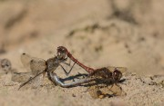 steenrode libellen in paring