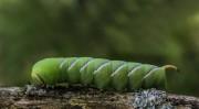 de  rups van een  ligusterpijlstaart vlinder