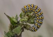 de rups van een kuifvlinder
